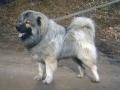 Caucasian Shepherd Dog 09