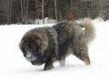 Caucasian Shepherd Dog 10