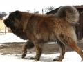 Caucasian Shepherd Dog 11