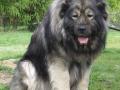 Caucasian Shepherd Dog 13