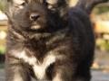 Caucasian Shepherd puppy 1
