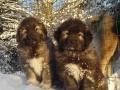 Caucasian Shepherd puppy 2
