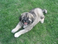 Caucasian Shepherd puppy 5