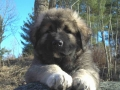 Caucasian Shepherd puppy 7