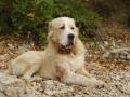 Central-Asian-Shepherd-Dog-02