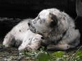 Central-Asian-Shepherd-Dog-04