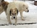 Central-Asian-Shepherd-Dog-05
