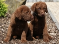 Adorable Puppies Of Chesapeake Bay Retriever
