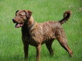 Chesapeake_Bay_Retriever1.jpg