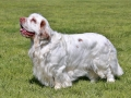 Typical Clumber Spaniel in the spring garden