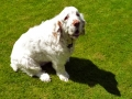 Clumber_Spaniel_on_Grass.jpg