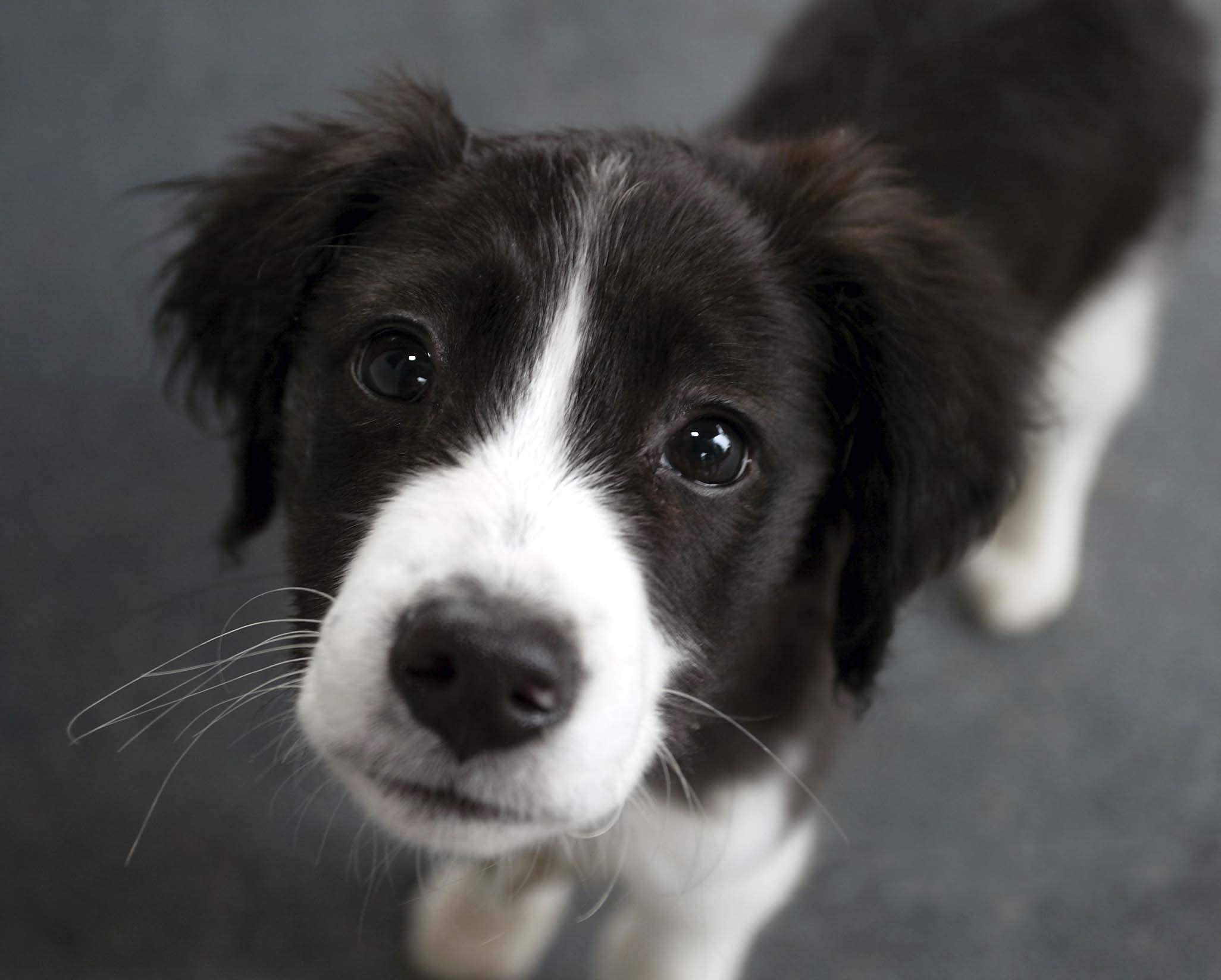 Collie - All Big Dog Breeds