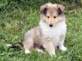 Collie puppy 01