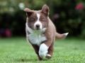 Collie puppy 02