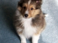 Collie puppy 03