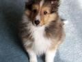 Collie puppy 03