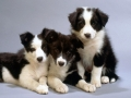 Collie puppy 04