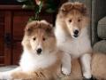Collie puppy 05