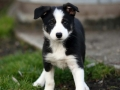 Collie puppy 06