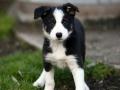Collie puppy 06