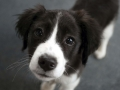 Collie puppy 07