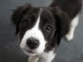 Collie puppy 07
