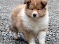 Collie puppy 08