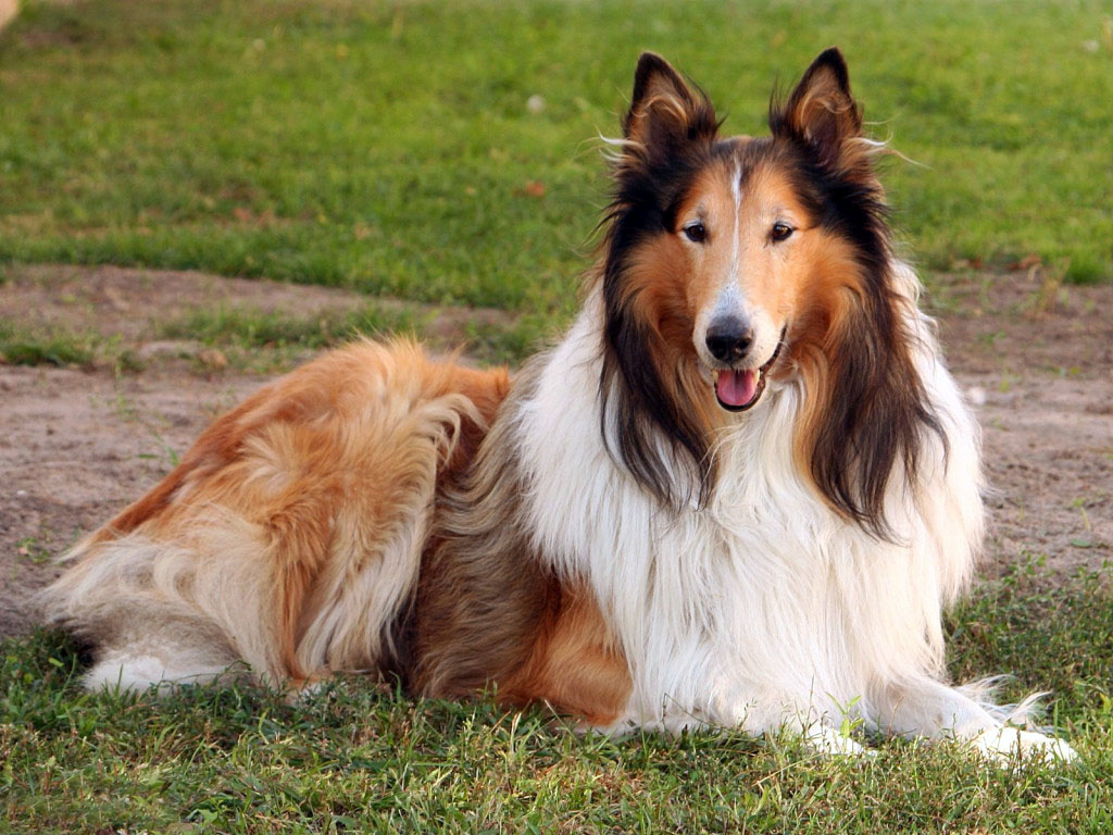 Collie all big dog breeds for Best dogs for you