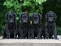 curly coated retriever puppies outdoors in summer