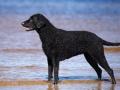 adorable curly coated retriever dog on the beach