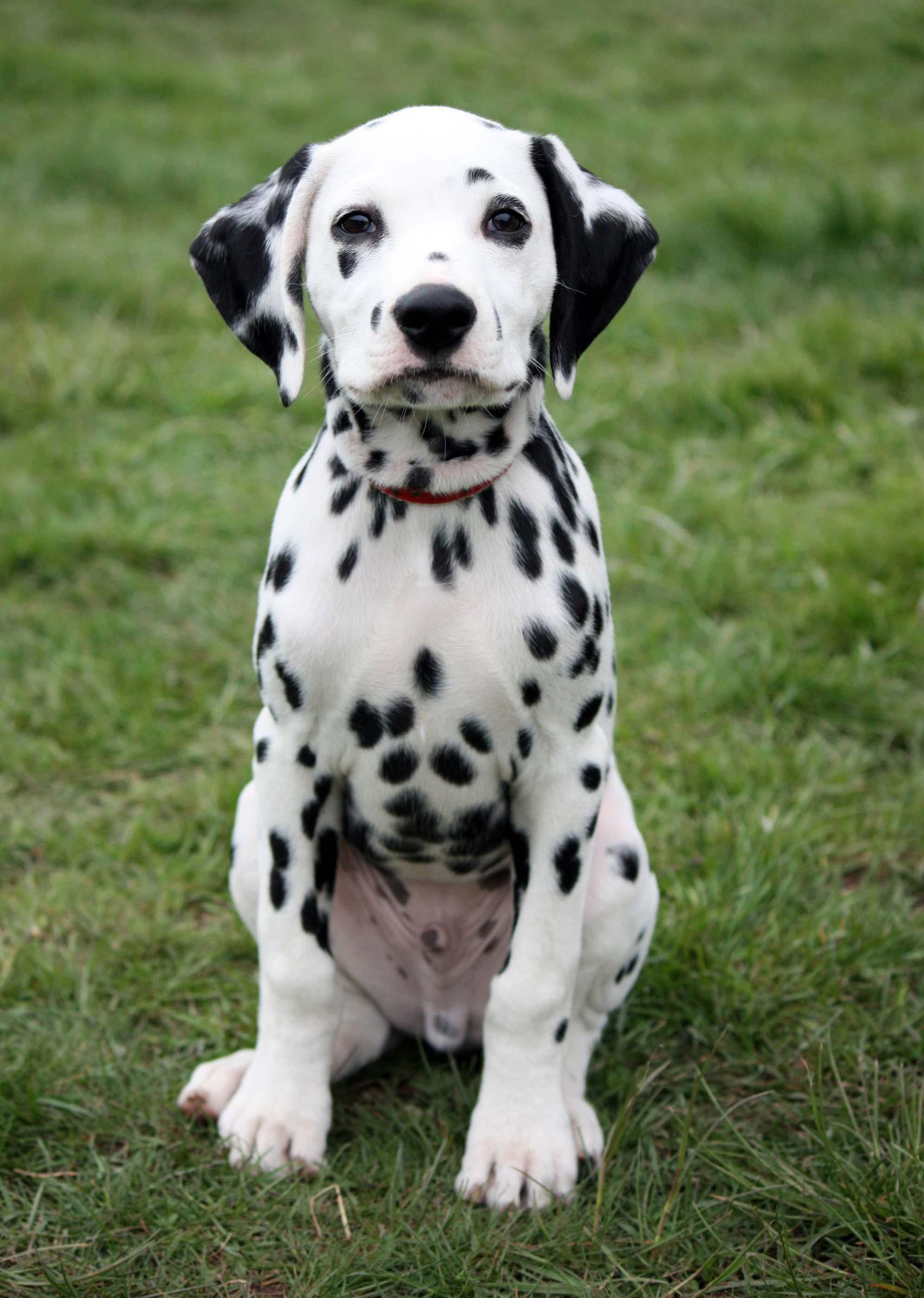 Dalmatian All Big Dog Breeds