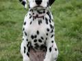 Dalmation puppy 01