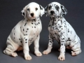 Dalmation puppy 02