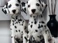 Dalmation puppy 03