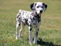 Dalmation puppy 04