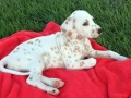 Dalmation puppy 05 lemon