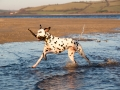 Dalmatian Dog Running Through The Sea With A Stick