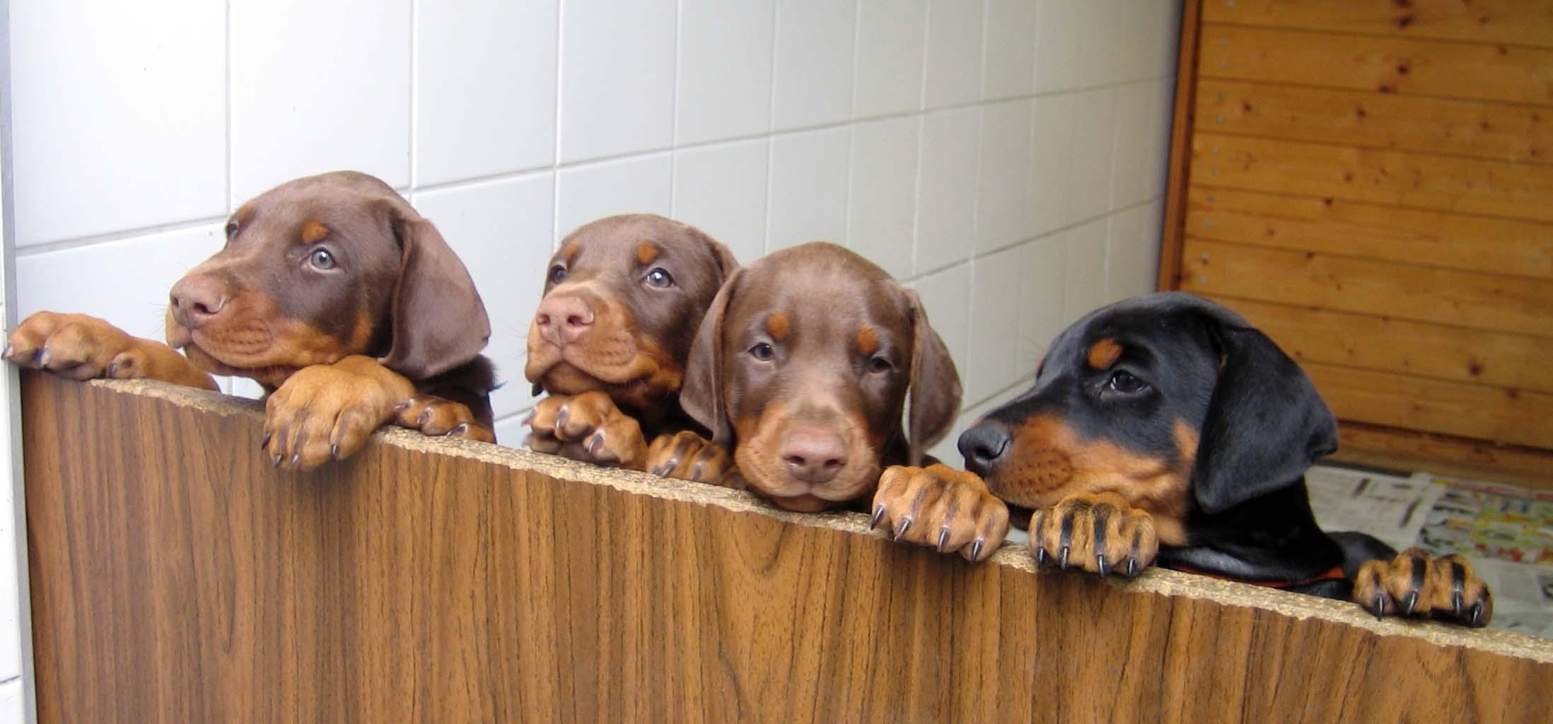 Doberman Pinscher All Big Dog Breeds