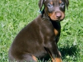 Doberman Pinscher puppy 01