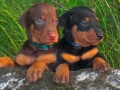 Doberman Pinscher puppy 02