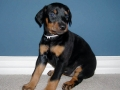 Doberman Pinscher puppy 03