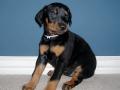 Doberman Pinscher puppy 03