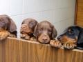 Doberman Pinscher puppy 04
