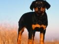 Doberman Pinscher puppy 05
