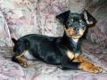 Doberman Pinscher puppy 06