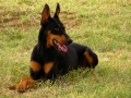 Doberman_Pinscher_down.jpg