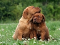 Dogue de Bordeaux puppy 1