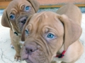 Dogue de Bordeaux puppy 2