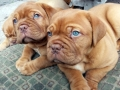 Dogue de Bordeaux puppy 3