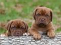 Dogue de Bordeaux puppy 6